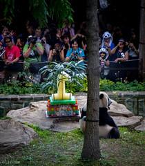 2016 Panda Party-1196 (Lora J Photography) Tags: meixiang fonz wesavespecies nationalzoo wearefonz