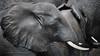 World Elephant Day - August the 12th (Jose Antonio Pascoalinho) Tags: africa botswana chobe elephant paquiderme mammals animal nature wildlife wild wilderness bigfive safari safariphotography closeup outdoor biosphere biodiversity zedith