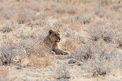 DSC_3928.JPG (manuel.schellenberg) Tags: namibia animal etosha nationalpark lion