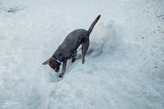 chase-roam-early-morning-mamquam-200816-ajbarlas-1263.jpg (A R D O R) Tags: ajbarlas ardorphotography blacklab chase chocolatelab dogs labrador puppy roam
