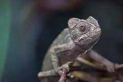 Chameleon (PeteMartin) Tags: chameleon ape artis zoo amsterdam netherlands nld