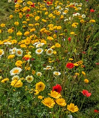 Wild garden (Rob Hall -) Tags: wildflowers flowers country countryside green rural beauty beautiful summertime summer field outdoors open