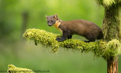 Pine Marten (Alastair Marsh Photography) Tags: pine pinemarten pinemartens pinemartenkit pineforest pinemartenkits marten fur forest woodland woods wood mammal mammals scotland scottishwildlife scottishmammals scottishmammal scottishhighlands wildlife animal animals britishwildlife britishanimals britishanimal britishmammals britishmammal