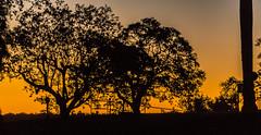 Silhouettes in golden Hour (*Capture the Moment*) Tags: 2016 brasilien brazil bume fog fozdeiguazu goldenhour goldenestunde iguacu landschaften sonne sonnenuntergang sonye18200mmoss sonynex7 sun sunset trees wetter