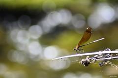 Dragonfly & bokeh (Explore 20-8-2016). (jaume vaello) Tags: macro singma70300 nikond5100 nikon manfroto bokeh libelulas dragonfly insectos naturaleza