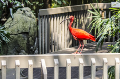 Scarlet Ibis on a Fence (Doug.Mall) Tags: architecture aviary building eudocimusruber fence fencedfriday nczoo nature scarletibis northcarolina usa