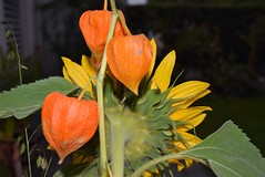 Bouqet Sunflower and Lampion 18.09 (7) (tabbynera) Tags: bouquet sunflower lampion