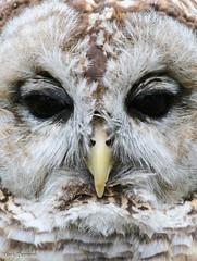 Barred Owl Face (Mark Dumont) Tags: animals barred bird cincinnati dumont mark owl wow zoo
