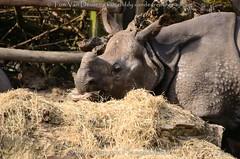 Indische Neushoorn - Rhinoceros unicornis - Indian rhinoceros (MrTDiddy) Tags: indische neushoorn rhinoceros unicornis indian zoogdier neus hoorn mammal rhino female vrouwelijk karamat mother moeder dierenparkplanckendael dierenpark planckendael mechelen muizen