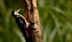 Searching Woodpecker (J @BRX) Tags: greatspottedwoodpecker dendrocoposmajor adeldam yorkshirewildlifetrust goldenacrepark bramhope leeds yorkshire england uk august2016 summer bird woodpecker green sunlight