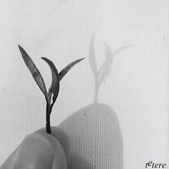 Dian Hong Golden Tips (Tetere Barcelona) Tags: teteriabarcelona tetereria teterebarcelona terere artoftea teaart tealeaf chaye tenegre blacktea yunnanblack tenegro brote goldentips dianhong