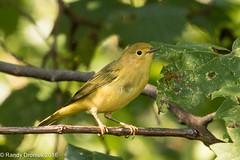 Yellow Warbler juvenile (rdroniuk) Tags: birds smallbirds warblers passerines yellowwarbler yellowwarblerjuvenile oiseaux passereaux parulines parulinejaune setophagapetechia