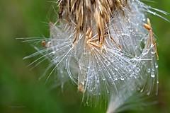 Distel nach dem Regen 2 (DianaFE) Tags: dianafe blume blte wildkraut wiesenblume tropfen regen makro tiefenschrfe schrfentiefe
