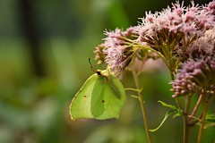 free as a butterfly (JoannaRB2009) Tags: closeup macro butterfly insect nature flower summer green plant miliczponds lowersilesia stawymilickie dolnyśląsk dolinabaryczy