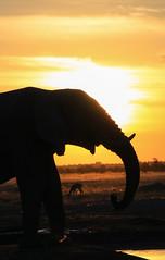 Silhouette of a giant (Chris Parker2012) Tags: elephant mammal africa botswana savuti sunset evening safari