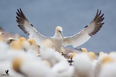 My Fellow Gannets! (Osprey-Ian) Tags: quebec bonaventureisland perce