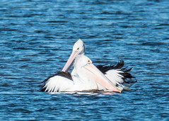 Pelicans in the bay (Merrillie) Tags: woywoy nikon nature australia birds d5500 nswcentralcoast newsouthwales sea nsw water wildlife centralcoastnsw waterscape reflection photography seascape outdoors animals fauna centralcoast pelican bay