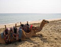Camels in Qatar (lukedrich_photography) Tags: canon powershot a60 qatar قطر 卡塔尔 katar カタール 카타르 कतर катар الدوحة camel animal water sea persiangulf gulf ocean outdoor shore seaside sand beach saddle landscape