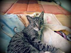 No hay mejor vida que la del gato.. (MaPeV) Tags: morris bellolindoguapetn gatos cats chats kawaii felin neko gatti gattini gattoni tabby chat katze gato kitty tabbyspoted powershot canon g16