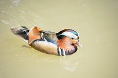 DSC_1043_Mandarinente (Helmut Stegmann) Tags: mandarinente enten vgel birds wasser geflgel hellabrunn zoo mnchen munich tiere federn tierpark nature natur duck