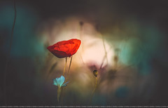 Poppy (Dhina A) Tags: jupiter 135mm f35 jupiter37a135mmf35 12blades telephotolens 37a prime m42 poppy flower bokeh sony a7rii ilce7rm2 a7r2