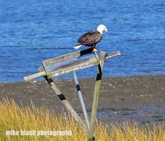 Bald Eagle on Osprey nest at NJ shore Canon 5DSR (Mike Black photography) Tags: bald eagle bird nature canon mike black nj new jersey shore 800mm 5dsr