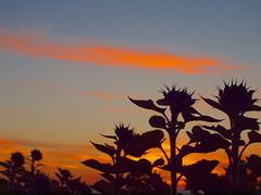 beauty morning is beginning P9250975 (hans 1960) Tags: autumn herbst september herbstzeit silhouette sky himmel germany sunflower sonnenblumen farben colour colourful nature flower fleur red blau blue beauty