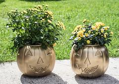 Day 261 (rendezvousnu) Tags: mums pumpkin crafty crafts diy halloween project365 projecteulalie eulalie