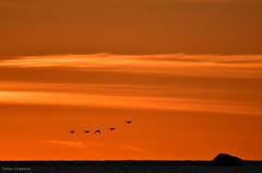 Sunset flight (- Man from the North -) Tags: sunset evening eveninglight sea sky ostrobothnia finland tamron150600mmf563spvcusd nikond500 nikon tamron birds inflight animal clods horizon