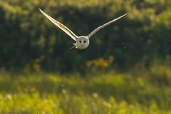Lazy Afternoon Flight (jammo s) Tags: barnowl owl tytoalba wildowl flying birdofprey birdinflight wildbarnowl summer hunting nature wildlife canoneos80d canonef400mmf56lusm