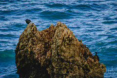 18092016DSC_1178.jpg (Ignacio Javier ( Nacho)) Tags: facebook flickr cormoranes aves phalacrocoracidae pginafotografia faunayflora santander cantabria espaa es
