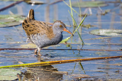 tonnamment  dcouvert. (DorianHunt) Tags: waterrail birds bokeh swamps champittet switzerland september 2016 nikond7200 sigma 150600mm