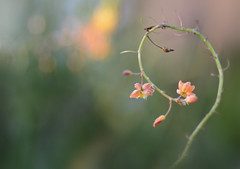 Which way do we go? (Jill Bazeley) Tags: bulbine frutescens flower macro south african native nikon d7000 sigma 105mm africa