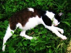 Gestation (mooonalila) Tags: cat chat nap sleep mother pregnant enceinte rest dormir repos sieste mre gestation