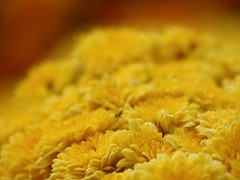 Garden Mums (donsutherland1) Tags: flowers autumn ny newyork fall october bronx blossoms mums bloom soe asteraceae nybg chrysanthemums newyorkbotanicalgarden thegalaxy gardenmums flowersarebeautiful allxpressus thebestshot awesomeblossoms flickaward fleursetpaysages allnaturesparadise sundanceyellow