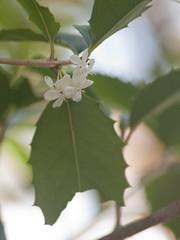 Osmanthus fortunei Carr. (Polotaro) Tags: flower macro nature pen olympus    ep1    tamronsp90mmf28macro1172b