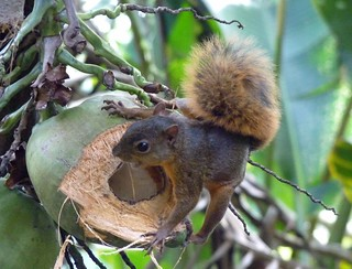 Eichhörnchen, Costa Rica, NGIDn627959443