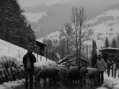 beeeeee (me, paolo and the seven wonders + two) Tags: sheep montagna pecore lenk simmental oberlandbernese