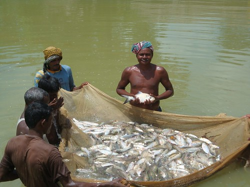 Harvesting fish from pond of an Adivasi farmer. Photo by Sakil, 2009.
