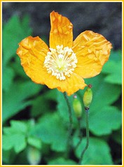Welsh poppy - Meconopsis cambrica (Andy - enjoying your pics) Tags: flowers orange picasa poppy welsh meconopsis cambrica