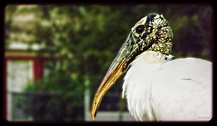 So Ugly, He's Cute (Chris C. Crowley) Tags: white bird animal weird wildlife waterbird unusual stork whitebird woodstork souglyhescute chriscrowley celticsong22