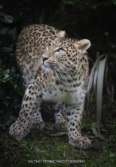 Northern Chinese Leopard (Kathy Tipping) Tags: leopard bigcat wildlifeheritagefoundation whf flickrbigcats northernchineseleopard