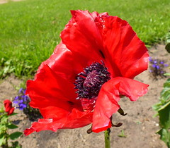 A Red Oriental Poppy (peggyhr) Tags: blue red sky white lake canada green clouds garden lawn hills alberta harmony homegrown armisticeday musictomyeyes finegold thegalaxy 25faves peggyhr heartawards artistspotlight bluebirdestates myfriendspictures peaceawards 100commentgroup doubledragonawards artofimages betulasflower flickraward addictedtonature redorientalpoppy addictedtoflower macrolovers fleursetpaysages mygearandme macroinstyle blinkagain derbotanischegarteninflickr photohobbylevel1 rolyegroupmostofusloveflowersandyou niceasitgets~level1 p1080688a