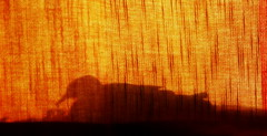 Behind the curtain .. () Tags: life shadow summer orange sun bird iran dove curtain behind tehran creature        canon400d