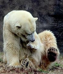 """Ewwwwww! I think I sat in something!"" (judecat (relaxing by the sea)) Tags: zoo polarbear philadelphiazoo"