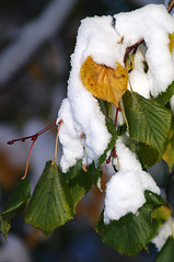 Lumi puulehtedel (Jaan Keinaste) Tags: autumn snow nature estonia pentax lumi eesti loodus sügis k7 pärn pentaxk7 kirjudlehed