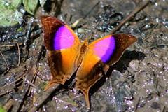 Costa Rica (joeksuey) Tags: park butterfly costarica glossy national jaco 2012 carara daggerwing hotelvillalapas joeksuey