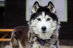 Tasha (John Sieber) Tags: dog siberianhusky dogportrait