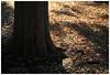 やっぱり好きになれないDIGIC5+の色味 (20EURO) Tags: landscape 秋 木 自然 公園 逆光 オレンジ 影 寒い 黄色 樹木 西日 赤 茶色 黒 落葉 駒沢公園 晩秋 木陰 オリンピック 幹 地面 土 きらめき 安らぎ 涼しい 東京競技場