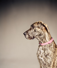 Great Dane (FarFlungTravels) Tags: portrait dog pet animal large greatdane
